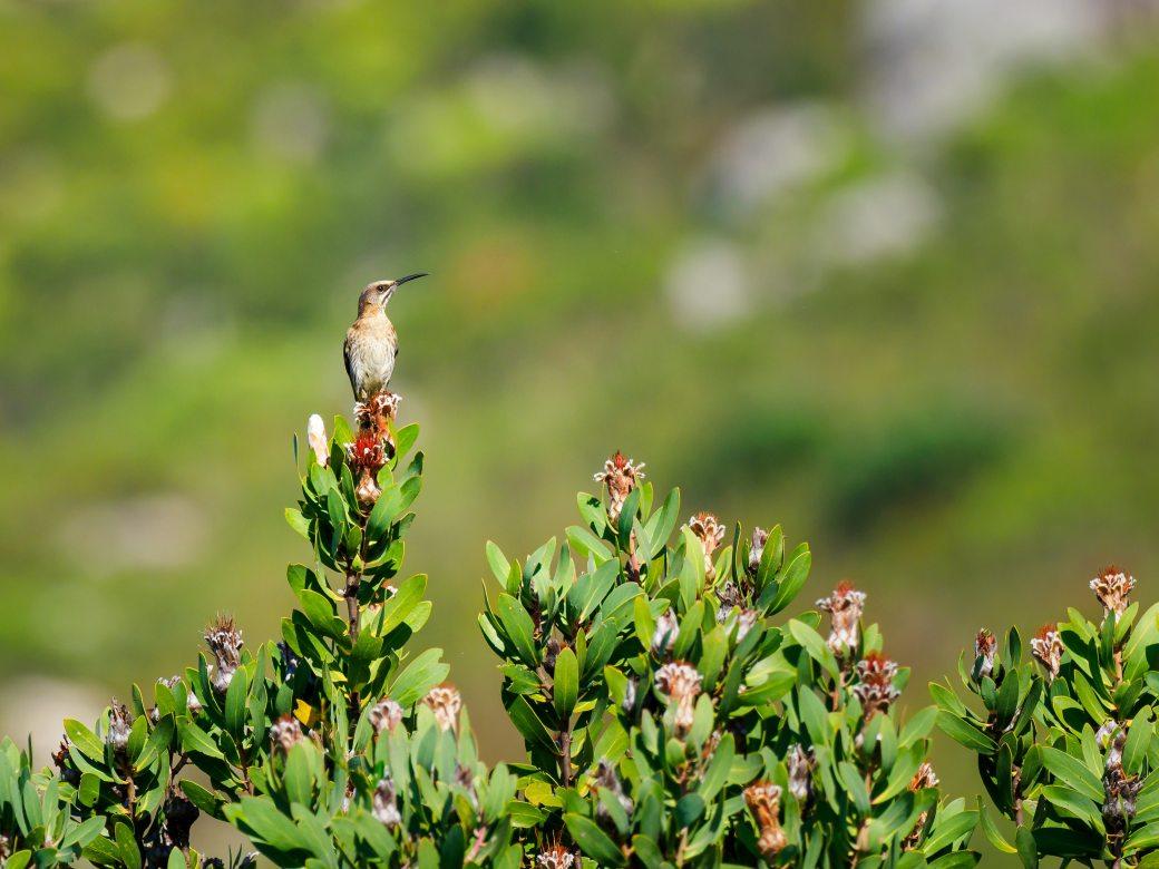 animal-bird-cape-sugarbird-1576896